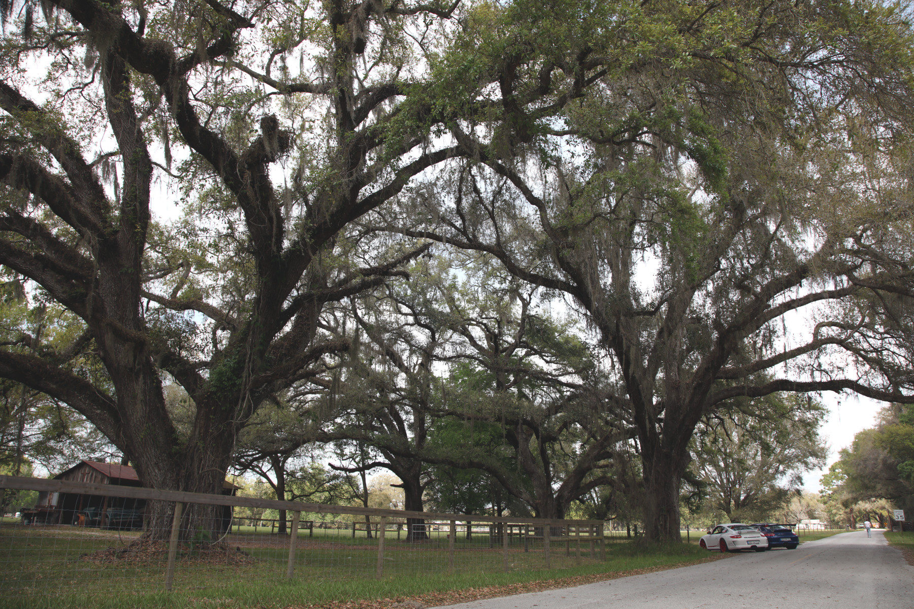 Live oaks at Sumter County